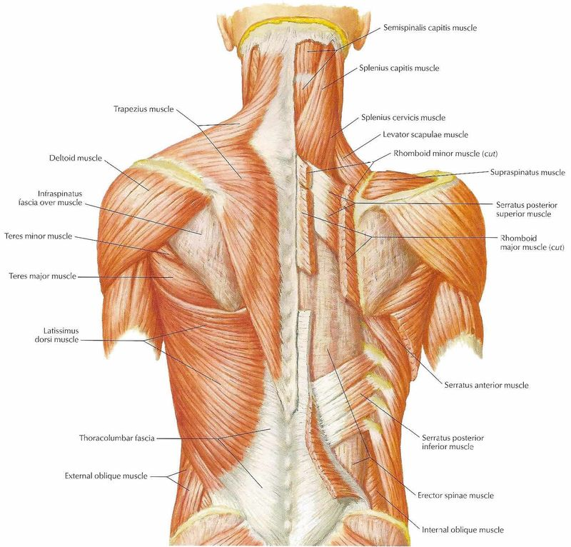 Muscles_of_the_back